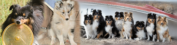 sheltieinfo header2