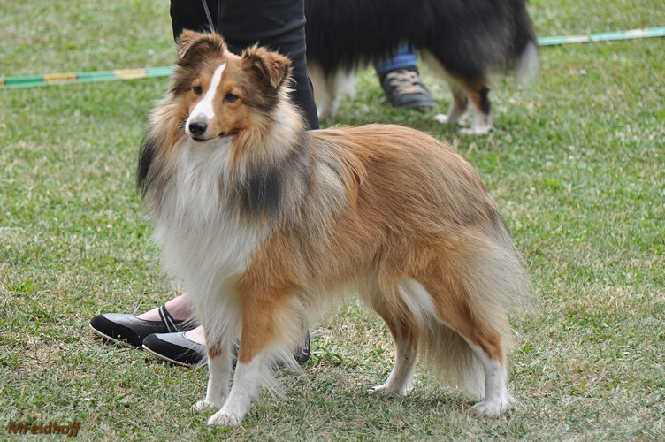 SRA Mannheim23 7 17 a08 ZwKR V2 Myway from the Crazy Shelties DSC 6891 500