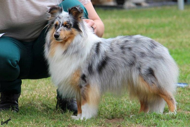 Di Leila s Sheltie Silver Beauty 500