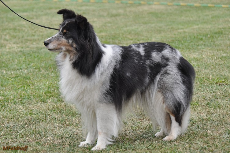 SRA Mannheim23 7 17 a15 VKH 1 Face of Sheltie Castle DSC 6935 500